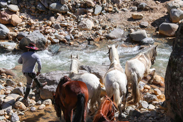 Peruvian Paso horse swimming on trail in Peru