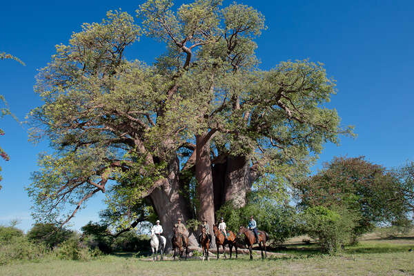 Riders in front of a baobab tree in Botswana