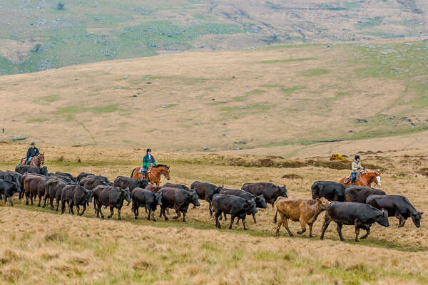 Riders on a cattle drive in England