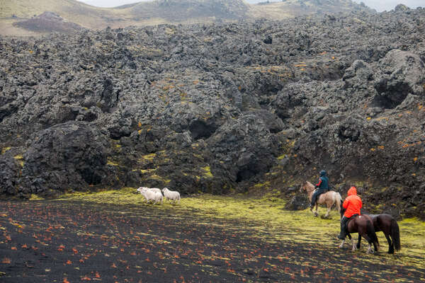 Riders roundin up stray sheep in iceland
