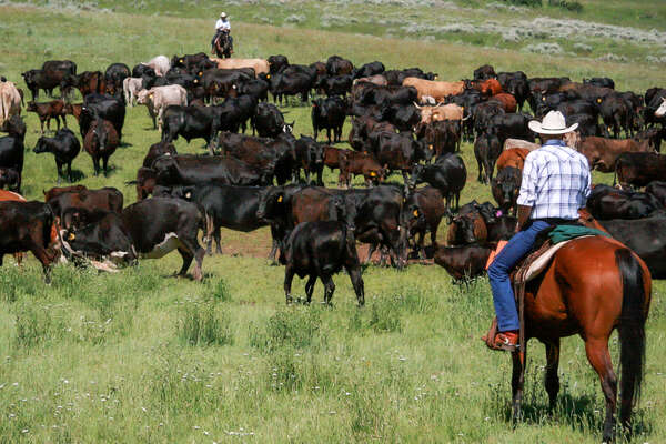 Riders working with cattle on a Montana ranch