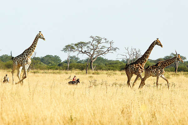 Riding with giraffe in Hwange in Zimbabwe