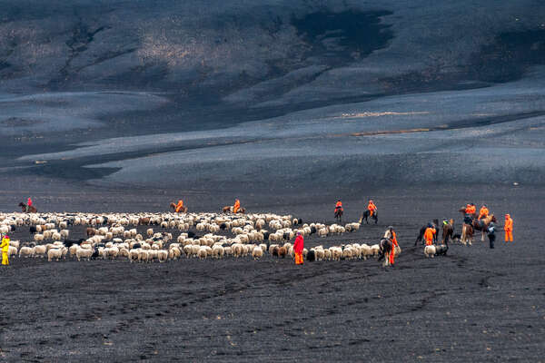 Sheep round up event in Iceland