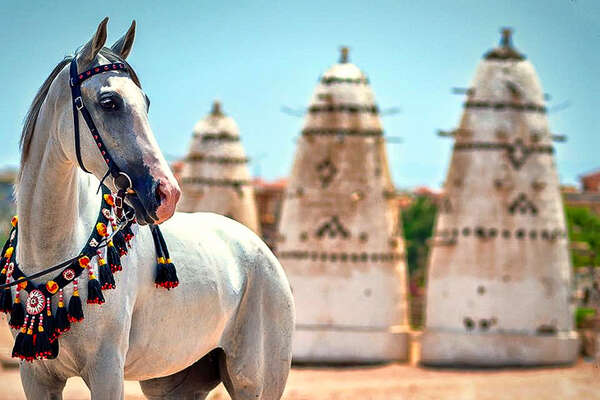 White arabian horse in Egypt